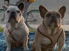 Gaga爱犬被找回 遛狗人不幸中枪