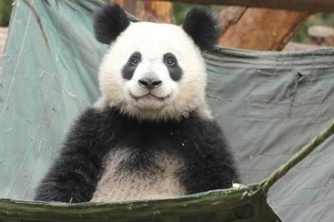 大熊猫长相潦草走红